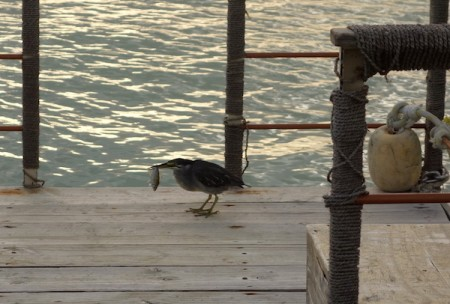 ile-maurice42-oiseau-pecheur