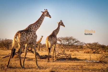 Girafes à Etosha (c) Tête de Chat