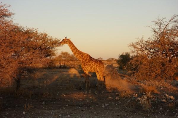 namibie30-girafe