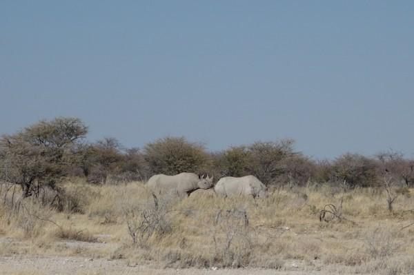namibie32-rhinoceros-couple