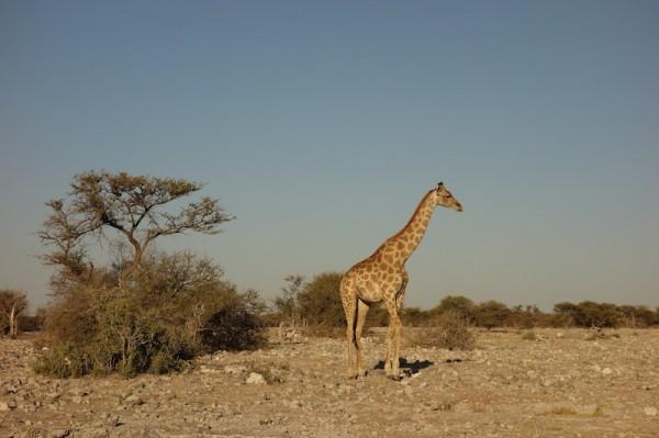 namibie36girafe