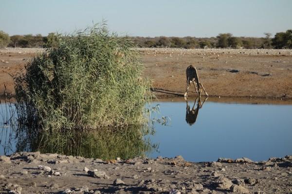 namibie37girafe