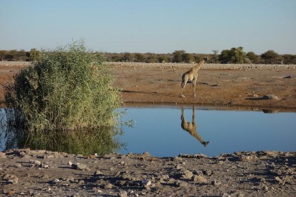 namibie38girafe