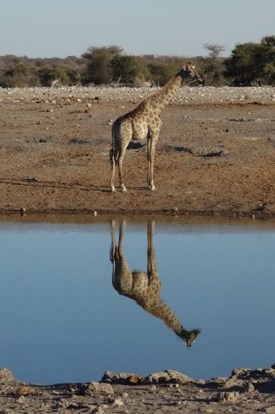 namibie39girafe