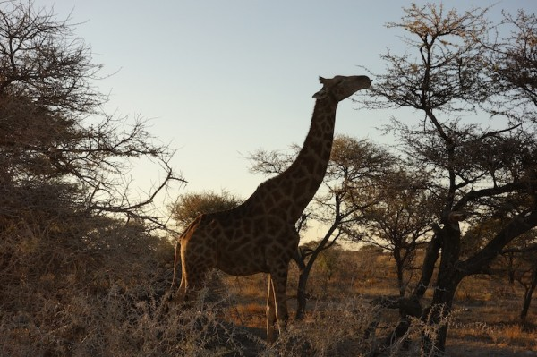 namibie40girafe