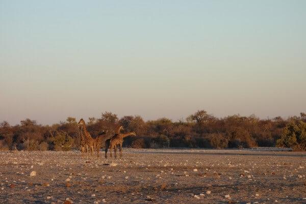 namibie42girafe
