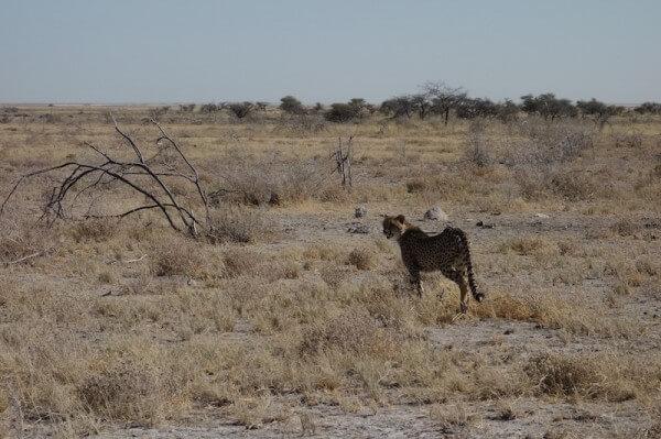 namibie46guepard