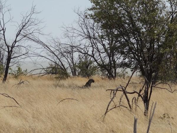 namibie49leopard