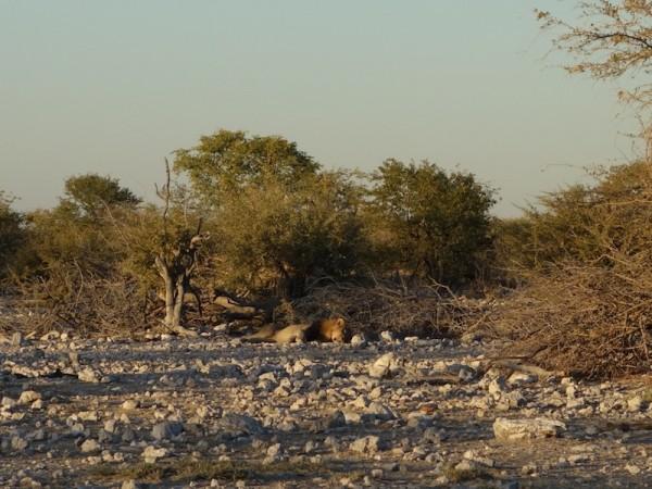 namibie67lion